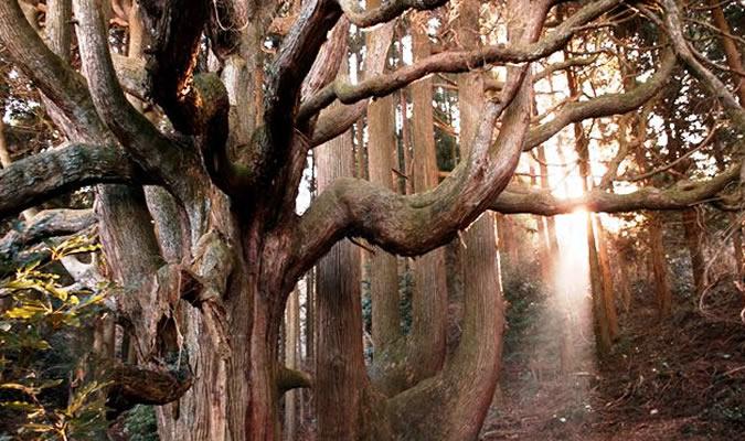 高杉殿の杉